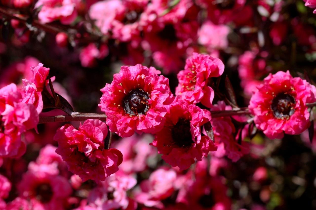 SemenVitae Manuka Blüten