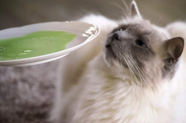 Katzen trinken SemenVitae gerstengras